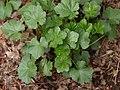 Sidalcea campestris in spring.jpg