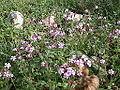 Silene aegyptiaca flowers from kdumim winter 02.JPG