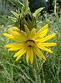 Silphium laciniatum kz1.jpg