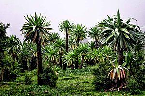 Lobelia rhynchopetalum - Image: Simien Mtns (6175141520)