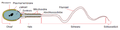 Simplified spermatozoon diagram-als.png