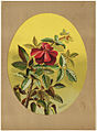 Single Red Rose (Oval Composition) (Boston Public Library).jpg