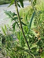 Sisymbrium loeselii sl7.jpg
