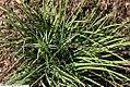 Sisyrinchium mucronatum 3zz.jpg