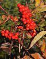 Sitka Mountain Ash Berries CRoundtree (8664342068).jpg