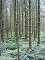 Sitka forest - geograph.org.uk - 558708.jpg