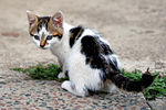 Six weeks old cat (aka) edit.jpg