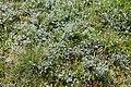 Slatinski pelin - Artemisia santonicum.jpg