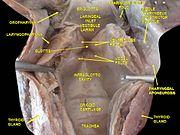 Oropharynx Cat Glottis - Wikip...