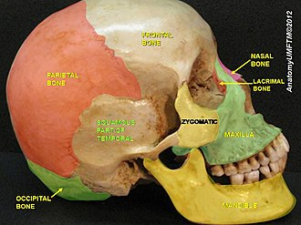 Squamous part of temporal bone - Image: Slide 3llll