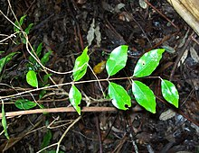 Small Leaved Myrtle.jpg