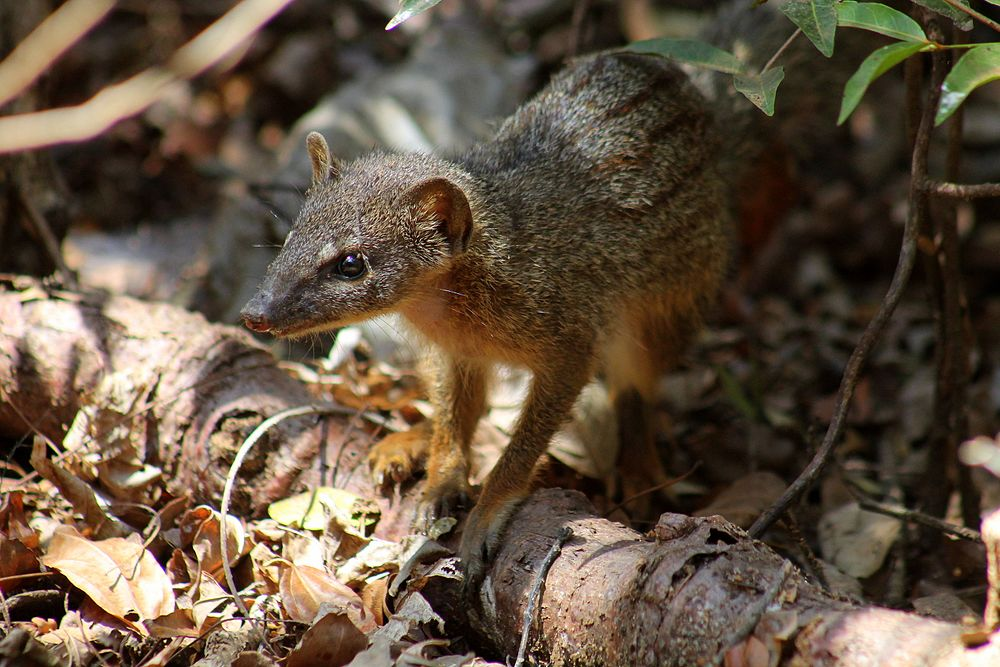 The average litter size of a Narrow-striped mongoose is 1