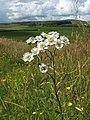 Sneezewort (Achillea ptarmica) - geograph.org.uk - 1439272.jpg