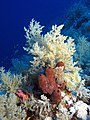 Soft coral and sponge (6163161325).jpg