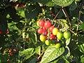 Solanum dulcamara 4499.jpg