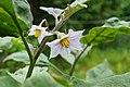 Solanum melongena 01.JPG