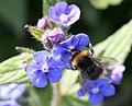 Solitary Bee on Green Alkanet - geograph.org.uk - 434306.jpg