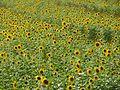 Sonnenblumenfeld 1.jpg