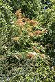 Sorbaria arborea - Vue générale.jpg