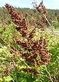 Sorbaria sorbifolia kz04.jpg