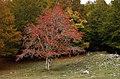 Sorbo degli Uccellatori (Sorbus aucuparia) in Autunno.jpg
