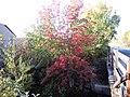 Sorbus aucuparia (5085257904).jpg