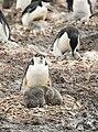 SouthShetland-2016-Livingston Island (Hannah Point)–Chinstrap penguin (Pygoscelis antarctica).jpg