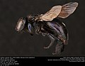 Southern carpenter bee, female (Apidae, Xylocopa micans (Lepeletier)) (35111777553).jpg