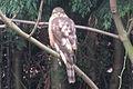 Sparrowhawk 03.jpg