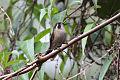 Speckled Hummingbird (Adelomyia melanogenys) (8079737225).jpg