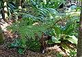 Sphaeropteris cooperi (Cyathea cooperi) - Marie Selby Botanical Gardens - Sarasota, Florida - DSC01160.jpg