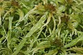 Sphagnum angustifolium (c, 144738-474654) 8156.JPG