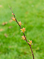 Spiraea japonica 'Goldflame' 03.jpg