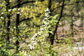Spiraea prunifolia var. simpliciflora 2015년 4월21일 (17161263900).jpg