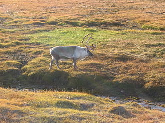 Nordic Stone Age - Reindeer in tundra landscape