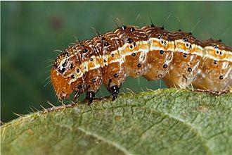 Fall armyworm - Fall armyworm