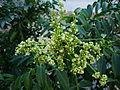 Spondias dulcis (4).JPG