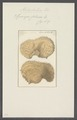 Spongia foliacea - - Print - Iconographia Zoologica - Special Collections University of Amsterdam - UBAINV0274 112 02 0036.tif