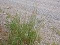 Sporobolus cryptandrus (3912568058).jpg