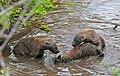Spotted Hyaenas (Crocuta crocuta) playing in the water ... (33085390502).jpg