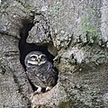 Spotted owlet3781-1.jpg