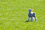 Spring lamb, rural New Zealand.jpg