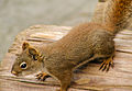 Squirrel (15806047321).jpg