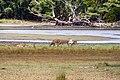 Srilankan Deers.jpg
