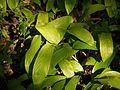 Stachyphrynium spicatum (Roxb.) K.Schum. (5146115083).jpg