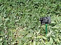 Stachys byzantina - Kunming Botanical Garden - DSC03147.JPG