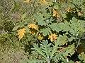 Starr-010419-0040-Bocconia frutescens-leaves-Kula-Maui (24236661720).jpg