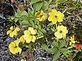 Starr-040331-0099-Zinnia peruviana-yellow form-Kanaio-Maui (24606953191).jpg