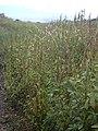 Starr-040705-0049-Amaranthus hybridus-habit-Kaonoulu-Maui (24087007233).jpg