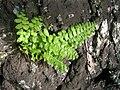 Starr-050419-0425-Nephrolepis sp-habit-Mokolii-Oahu (24450565860).jpg